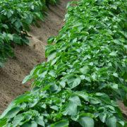 Trockenheit sorgt für Nährstoffmangel - Bestände gezielt mit Blattdünger versorgen