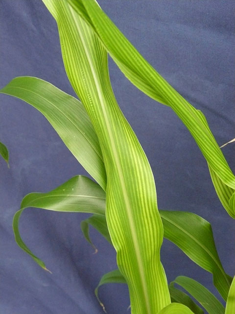 Zinkmangel im Mais
