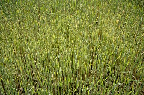 Stickstoffmangel im Weizen