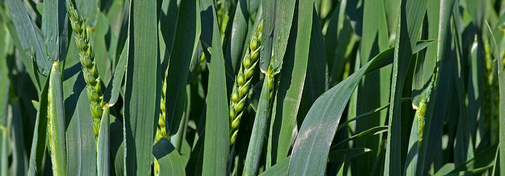 Weizen-Spaetgabe