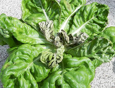Calcium-Mangel in Salat