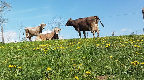 Milchvieh Weide