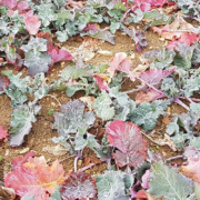 Eine Folge von Stress - Winterraps zeigt rote Blätter