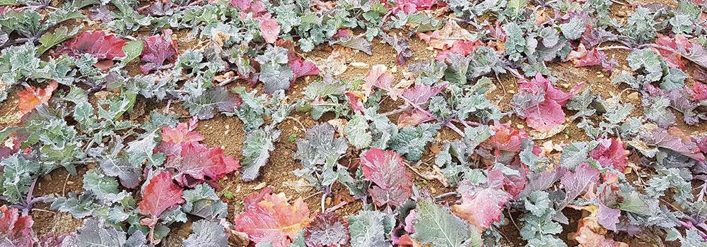 Winterraps zeigt rote Blätter