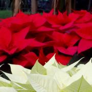 Zur Weihnachtszeit locken sie mit Ihrer bunten Blätterpracht - Weihnachtssterne: Wie pflegt man sie richtig?