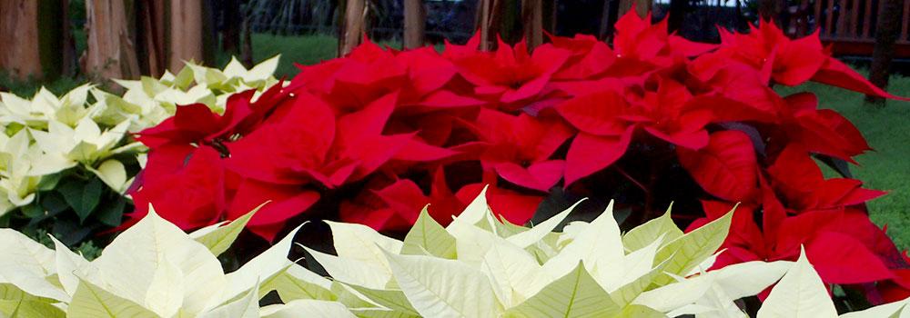 Zur Weihnachtszeit locken sie mit Ihrer bunten Blätterpracht – Weihnachtssterne: Wie pflegt man sie richtig?