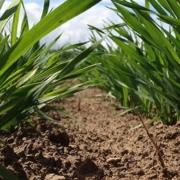 Trockenheit: Mikronährstoffe über das Blatt düngen - Die Braugerste pushen