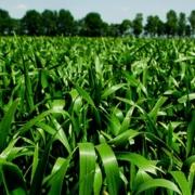 Trotz begrenzter Stickstoffmengen Qualitätsweizen erzeugen - Die richtige Düngestrategie für hohe Proteingehalte