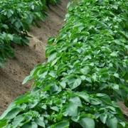 Phosphat-Düngung in Kartoffeln - Eine Frage der Effizienz