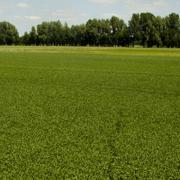 Alternativen zum Import von Soja & Co. - Den Eiweißgehalt heimischer Futtermittel erhöhen