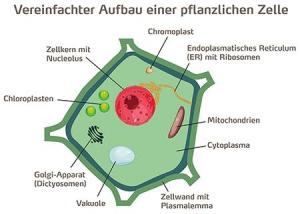vereinfachter aufbau einer pflanzenlichen zelle
