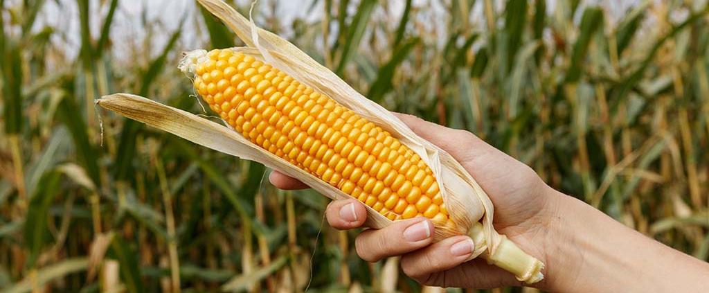 Welche Mikronaehrstoffe braucht der Mais