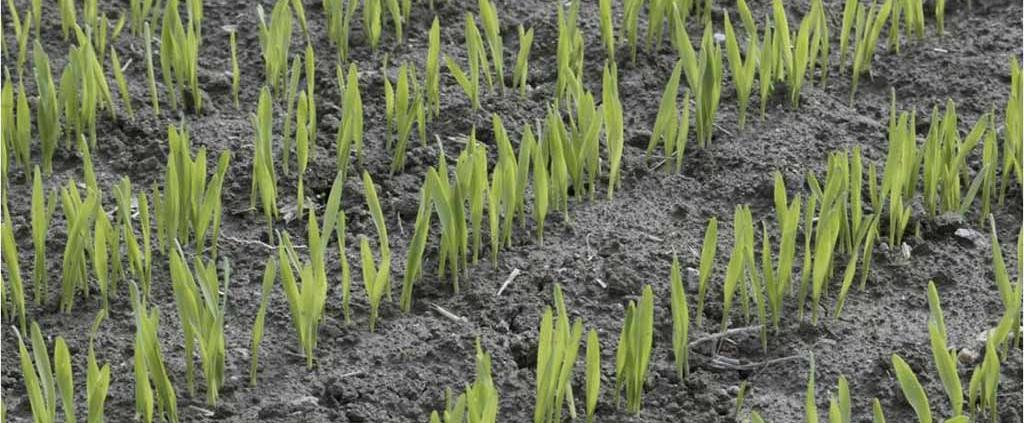 Junge Gerstenpflanzen