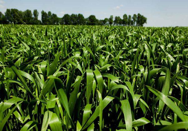 Ährengabe im Weizen: Hohe Stickstoffwirkung ist entscheidend