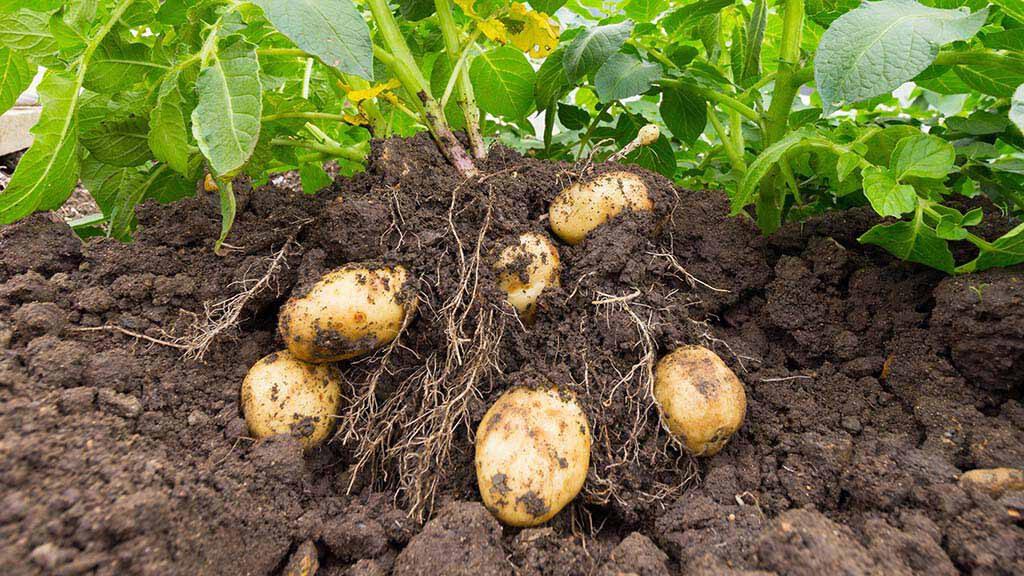 Kartoffeln brauchen Phosphat_1024