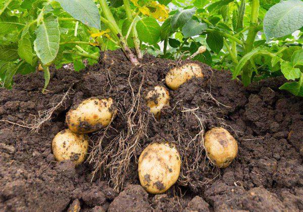 Kartoffeln brauchen Phosphat