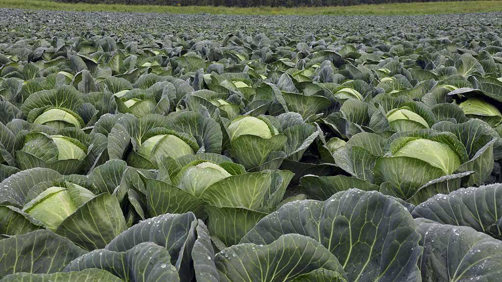 Mikronährstoffe für Kohl