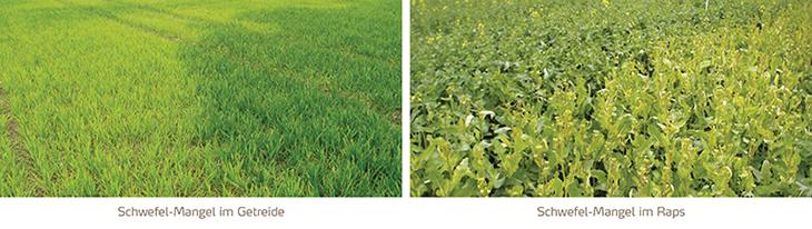 Schwefelmangel in Getreide und Raps